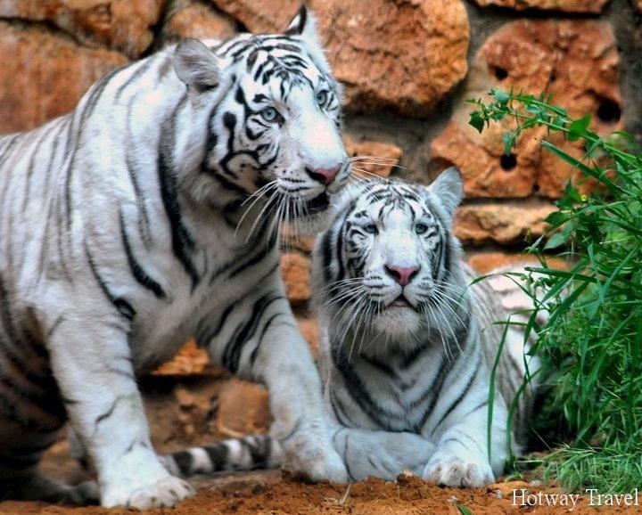 Туры в ОАЭ в апреле тигр