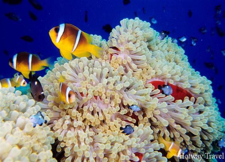 Egypte, mer Rouge, poissons-clowns et anémones