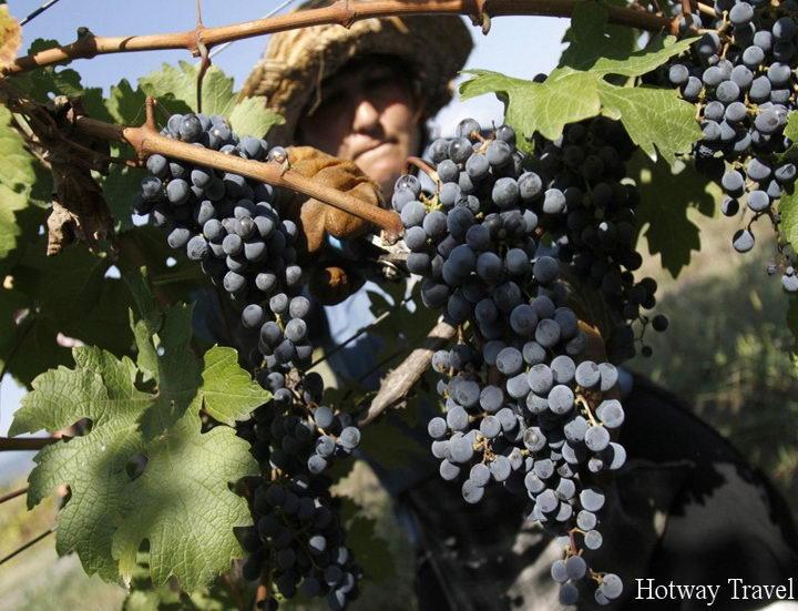 Отдых на Кипре в сентябре виноград
